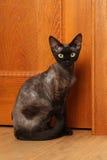 Race Devon Rex de chat Photographie stock libre de droits