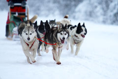 Race of draft dogs. Race on dogsleds in the cold winter Royalty Free Stock Image