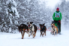 Race of draft dogs Royalty Free Stock Image