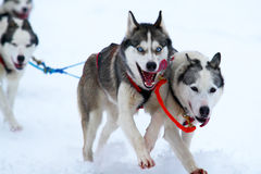 Race of draft dogs. Race on dogsleds in the cold winter Royalty Free Stock Images