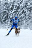 Race of draft dogs Stock Photography