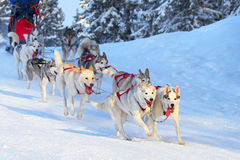 Race of draft dogs Royalty Free Stock Photo