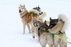Race of draft dogs Stock Photo