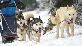 Race of draft dogs on snow. Stock Photo