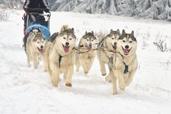 Race of draft dogs on snow. Royalty Free Stock Image