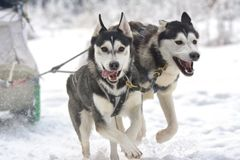 Race of draft dogs on snow. Stock Image
