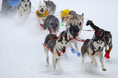 Race of draft dogs Royalty Free Stock Photography