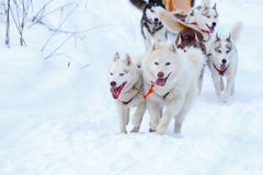 Race of draft dogs Royalty Free Stock Photos