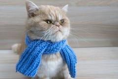 Race exotique de beau chat roux dans une écharpe images stock