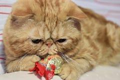 race exotique de chat rouge images stock