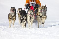 Race för Sledhund i Lenk/Schweitz 2012 Arkivfoton