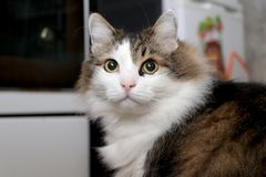 Race Forest Cat norvégien photographie stock