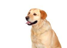 Race gentille de Labrador de chien Image libre de droits