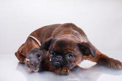 Race Griffon Brabanson de chien et rat gris Image libre de droits