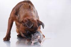 Race Griffon Brabanson de chien et rat gris Image stock