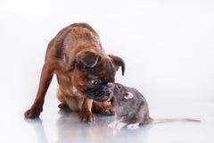 Race Griffon Brabanson de chien et rat gris Photographie stock libre de droits