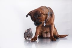 Race Griffon Brabanson de chien et rat gris Photo stock