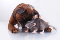 Race Griffon Brabanson de chien et rat gris Photographie stock