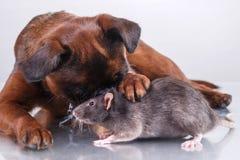Race Griffon Brabanson de chien et rat gris Images libres de droits