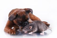 Race Griffon Brabanson de chien et rat gris Photos libres de droits