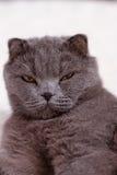 Race grise de chat de portrait Images libres de droits