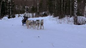 Race Hasky de chiens banque de vidéos