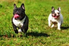 Race heureuse de chien le bouledogue français Images stock