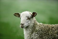 Race hirsute blanche de moutons de race de Latxa Images libres de droits