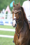 Race horse. On show jumping competitions Royalty Free Stock Photos