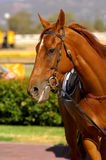 Race Horse. Ready for some thoroughbred  racing Royalty Free Stock Images