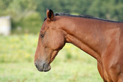 Race horse. Our race horse is sleeping during his holiday this summer Royalty Free Stock Photography