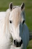 Race horse Camargue delta Royalty Free Stock Photos