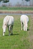 Race horse Camargue delta Royalty Free Stock Image