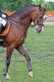 Race horse chestnut suit Stock Photography