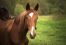Race Horse close up. Brown race horse (Breed Trakehner Stock Photos
