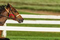 Race Horse Closeup Head Running Royalty Free Stock Image