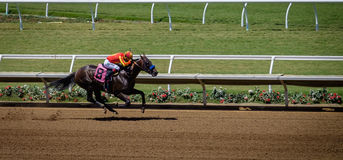 Race Horse, Del Mar, California. A fast race horse moves ahead, with hoofs flying, the jockey holding tight leading the horse on, in their colors, at the Del Mar Royalty Free Stock Photos