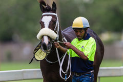 Race Horse Ejected Handler  Stock Image