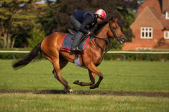 Race Horse in Full Flight. A Racehorse in full flight on the Training Gallops stock image