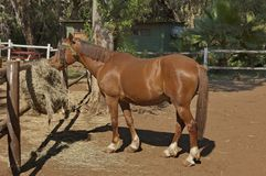 Race-horse in garden at Sun City Royalty Free Stock Images