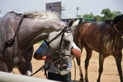 Race Horse. Gray horse after a race at Churchill Downs in KY royalty free stock image