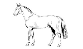 Race horse without a harness drawn in ink by hand. On white background in full length Royalty Free Stock Images