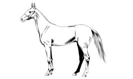 Race horse without a harness drawn in ink by hand on white background. In full length Stock Photos