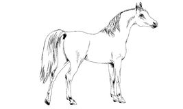Race horse without a harness drawn in ink by hand on white background Royalty Free Stock Image