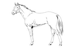 Race horse without a harness drawn in ink by hand on white background. In full length Royalty Free Stock Photography