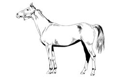 Race horse without a harness drawn in ink by hand on white background. In full length Stock Photo