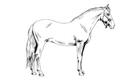 Race horse without a harness drawn in ink by hand royalty free stock image