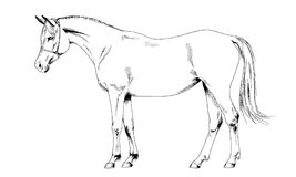 Race horse without a harness drawn in ink by hand stock image
