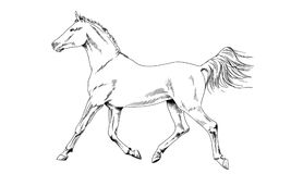 Race horse without a harness drawn in ink by hand stock photo