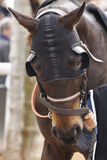 Race horse head with blinkers. Paddock area. Vertical Royalty Free Stock Image